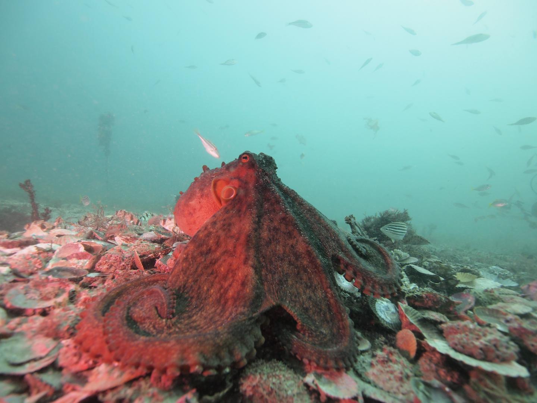 A looming Octopus, courtesy of David Scheel